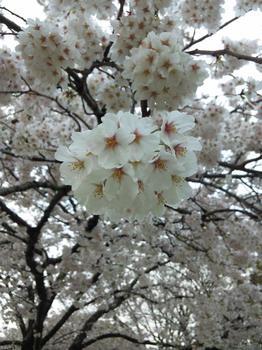 2012.04.11吉香公園桜.JPG
