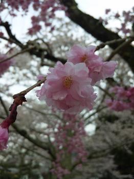 2012.04.11吉香公園桜 (3).JPG
