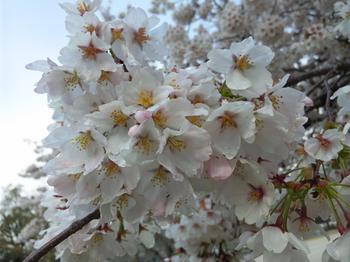 2012.04.11吉香公園桜 (6).JPG