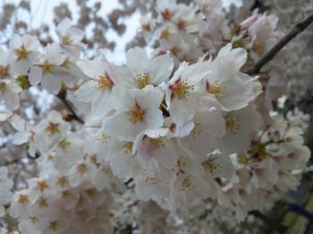 2012.04.11吉香公園桜 (7).JPG