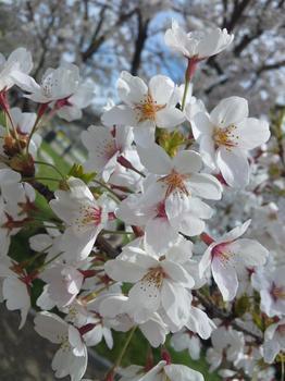 2012.04.15平尾台桜1.JPG