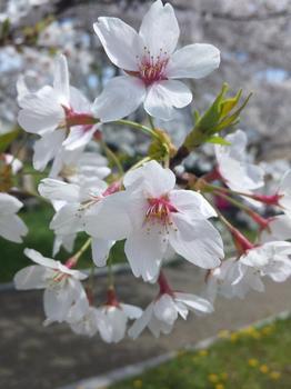 2012.04.15平尾台桜2.JPG