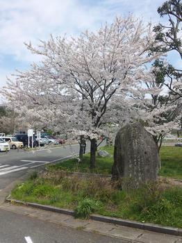 2012.04.15平尾台桜3.JPG